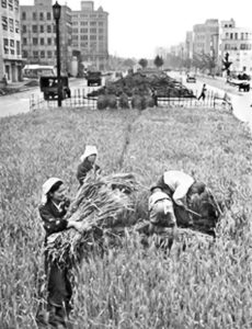 昭和通り中央分離帯の麦畑